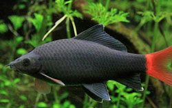 Red tailed black shark Labeo Bicolor