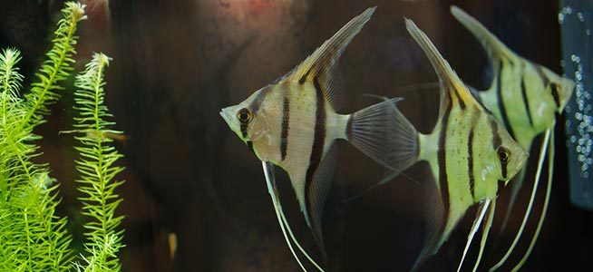 Angelfish Pterophyllum scalare
