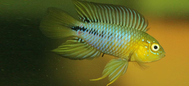 Wallpapers Yellow Dwarf Cichlids