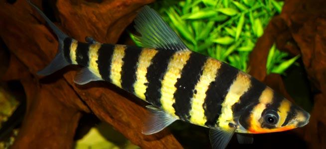 Banded Leporinus, Leporinus fasciatus Profile, with care ...