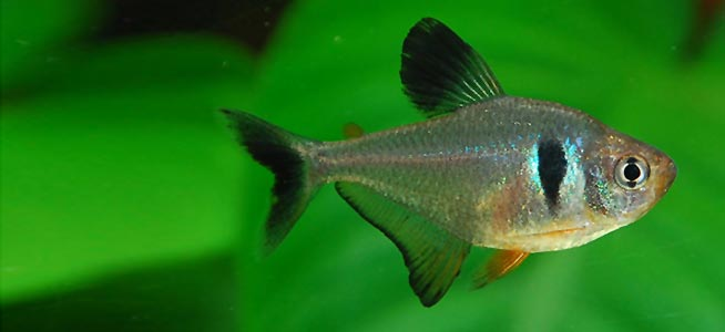 Fish profile black phantom tetra for Tetra acquario