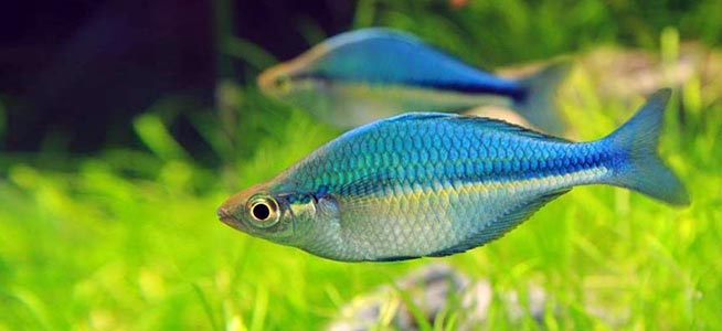 Lake Kutubu Rainbowfish Melanotaenia Lacustris