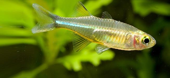 Celebes Rainbow Fish Celebes Rainbow Marosatherina