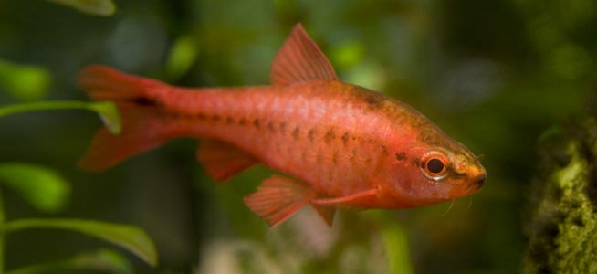 Red male Cherry Barb Puntius titteya