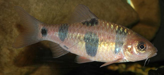 Clown barb Puntius everetti