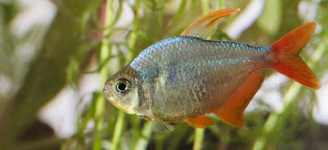 Fish profile colombian red fin Freshwater fish with red fins