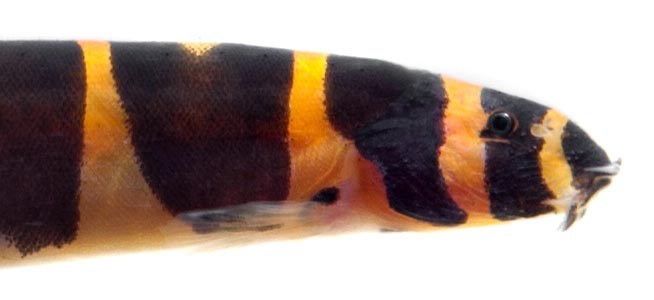 Coolie Loach Pangio kuhlii Close up