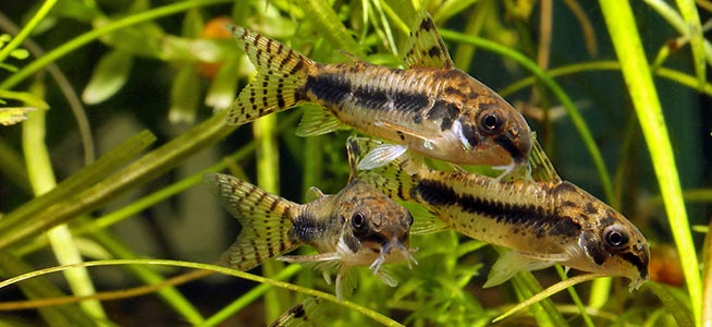 Image result for salt and pepper cory cats fish