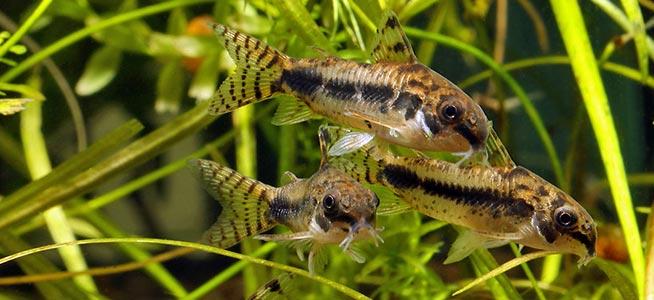 Salt And Pepper Catfish Behaviour Shoaling Habitat Size Water Ph Feeding And Tankmates Fish Profile Corydoras Habrosus
