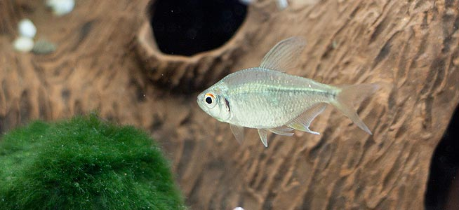 Diamond Tetra Moenkhausia pittieri