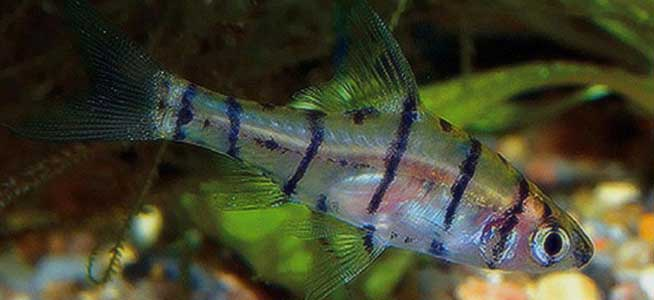 Eight-banded False Barb Eirmotus octozona