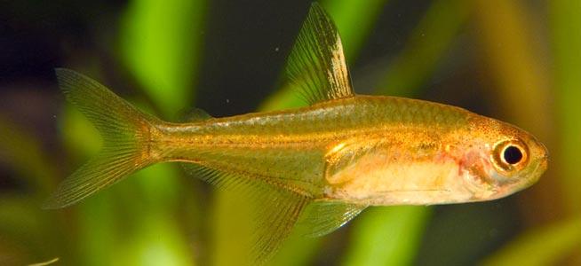 Ember Tetra Hyphessobrycon amandae