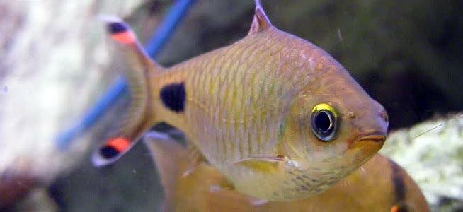 Puntius filamentosus (Filament Barb)