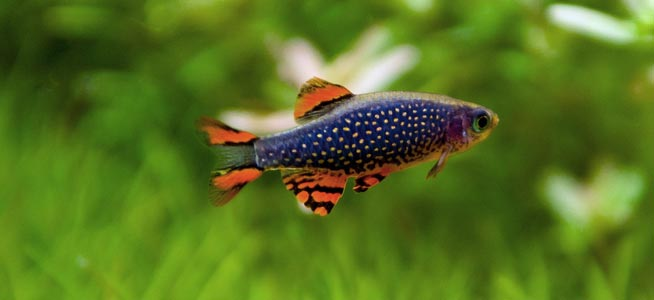 Celestial Pearl Danio Behaviour Shoaling Habitat Size Water Ph