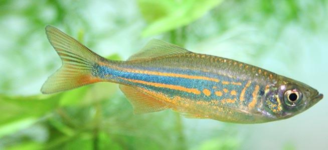 Giant golden danio for Giant danio fish