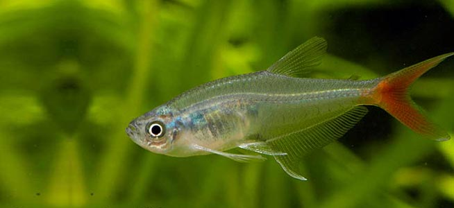 Glass Bloodfin Prionobrama filigera
