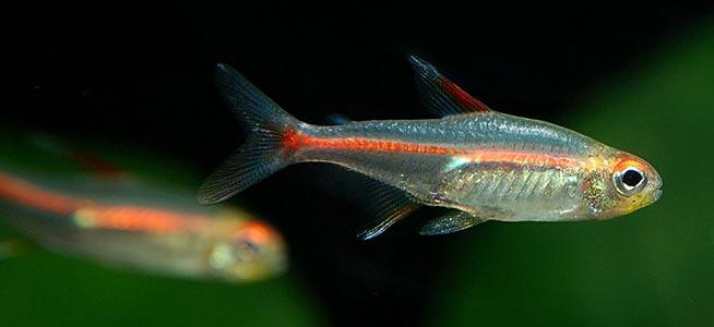 Fish profile - Glowlight Tetra