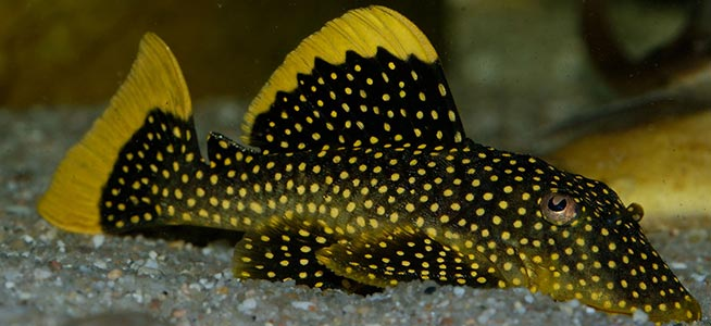 Golden Nugget Plec Baryancistrus sp.
