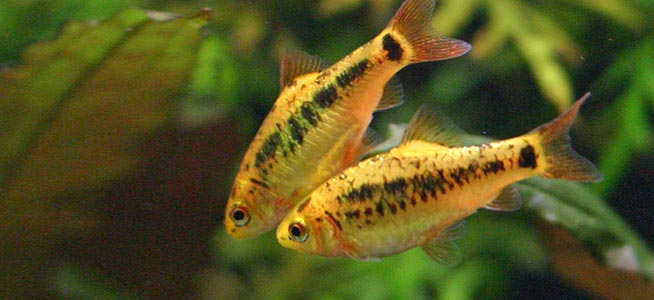 Pair of Golden Barbs Puntius semifasciolatus