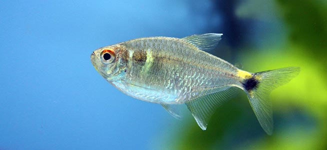 Head & Tail Light Tetra Hemigrammus ocellifer