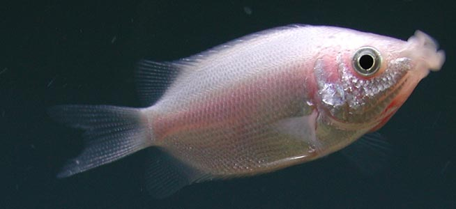 Kissing Gourami Helostoma temminckii