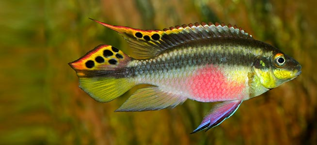 Fish Profile Kribensis