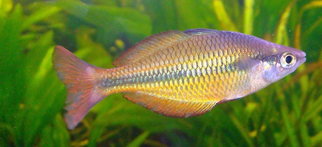Fish profile lake tebera rainbowfish for Tropical rainbow fish