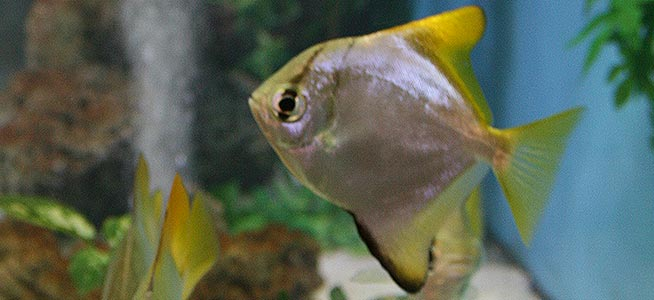 Mono Monodactylus argenteus