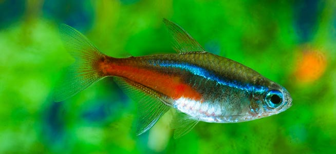 Neon Tetra Behaviour Shoaling Habitat Size Water Ph Feeding And