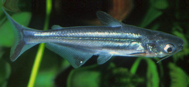 Fish profile pangassius for What is pangasius fish