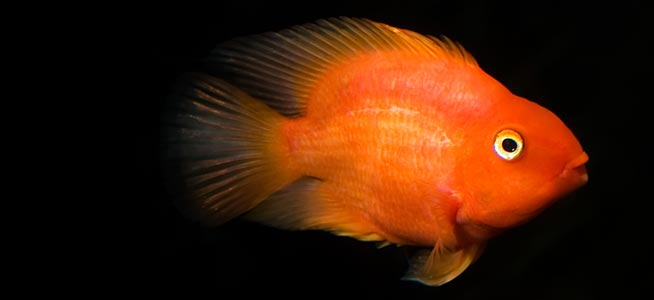 Fish profile parrot fish for Red parrot fish