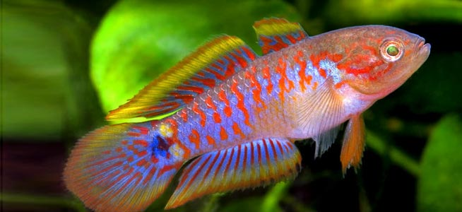 List Of Small Freshwater Aquarium Fish
