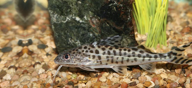 Fish profile pictus catfish for Fish tank catfish