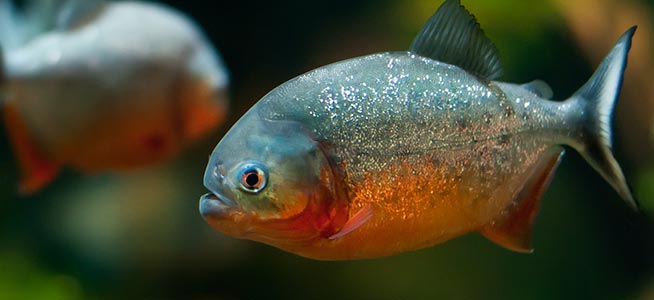 Image result for Red-Bellied Piranha