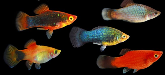 The brackish tank platy genus xiphophorus species x for How long do fish stay pregnant