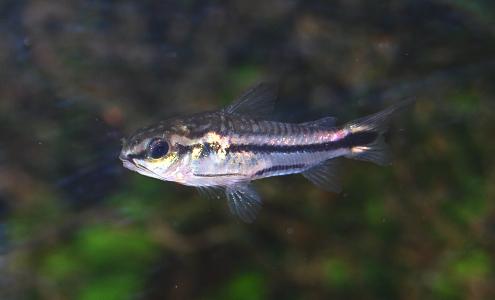 Fish Profile Pygmy Corydoras