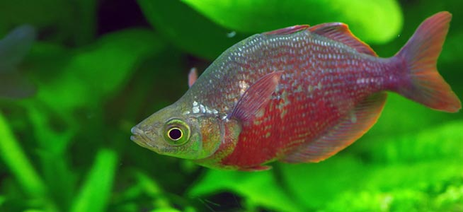 Red Rainbowfish Glossolepis incisus