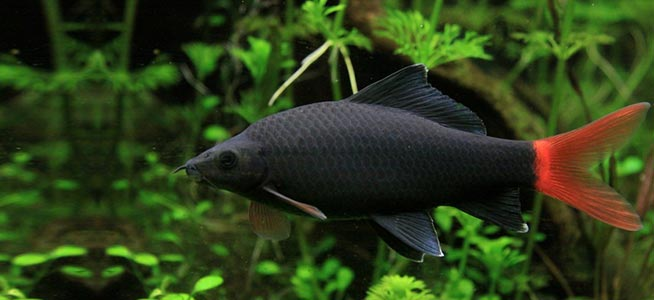 Red Tailed Black Shark on oscar fish tank size