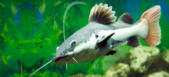 Fish profile redtail catfish for Red tail shark fish