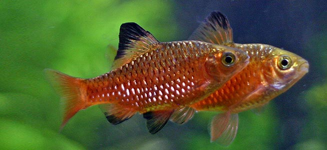 rosy barbs fish