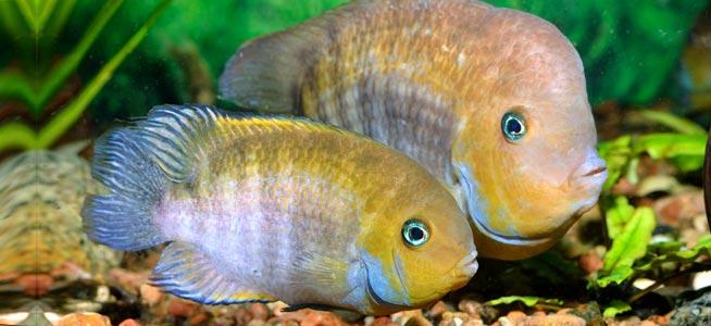 Severum fish tank mates