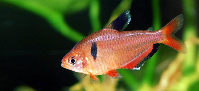 Fish profile serpae tetra for Tetra acquario