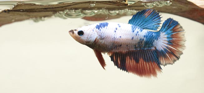 Female Marble Siamese Fighting Fish Betta splendens