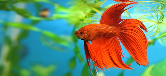 Red Siamese fighting fish Betta splendens