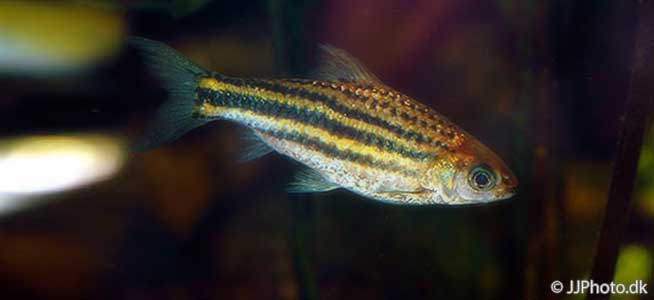 Striped Barb Puntius johorensis