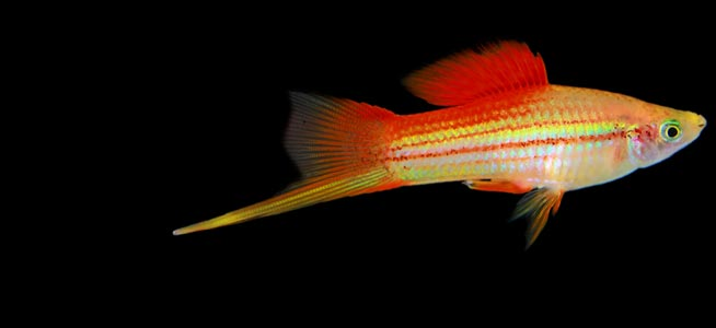 Male Swordtail Xiphophorus hellerii