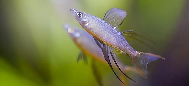 Threadfin Rainbowfish Iriatherina werneri