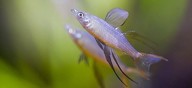 Fish profile threadfin rainbowfish for Rainbow fish care