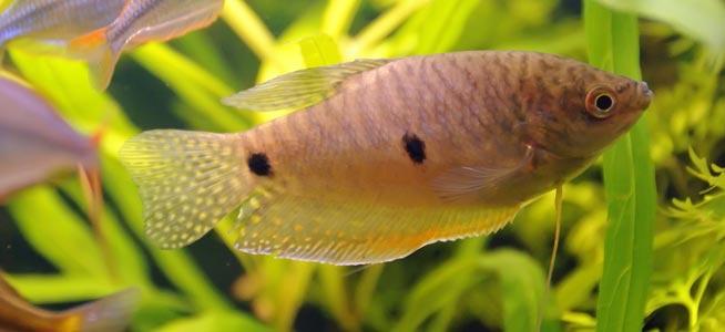 Three Spot Gourami Behaviour Shoaling Habitat Size Water Ph Feeding And Tankmates Fish Profile Gold Opaline Gourami