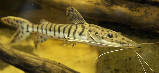 African three striped glass catfish — photo 10